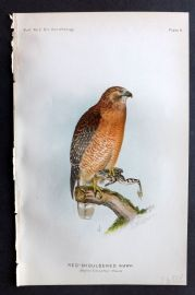 Ridgway 1893 American Bird Print. Red-Shouldered Hawk 08